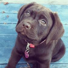 chocolate puppie