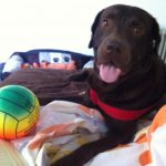Labrador Retriever Personality Traits
