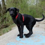 House Training a Labrador Puppy