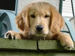 Puppy face-Labrador