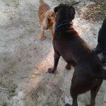Feeding Labradors