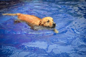 swimming labrador