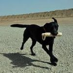 How Much Exercise Does A Labrador Need-Part1