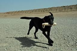 Running labrador